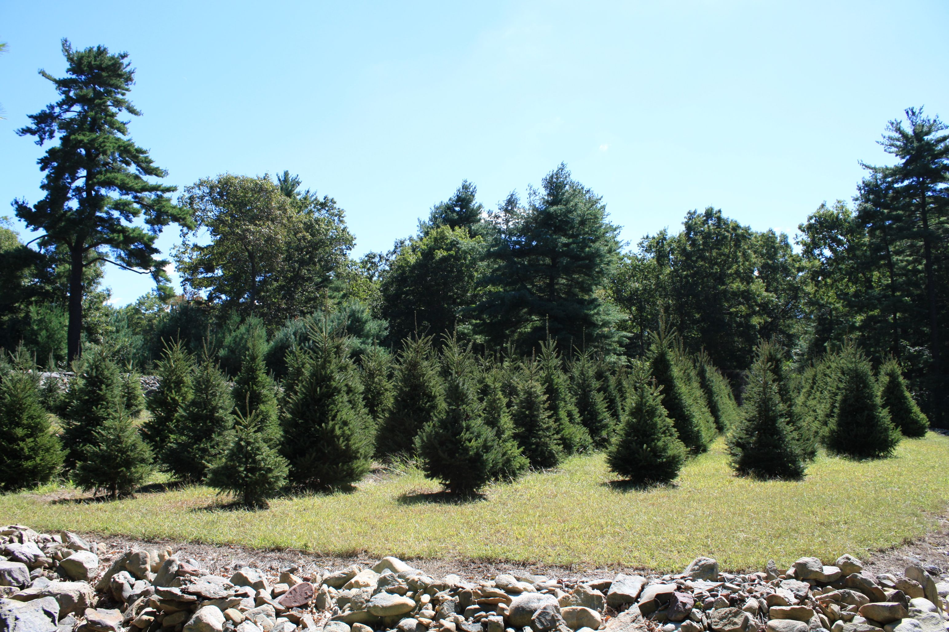 Christmas Tree Farm at Evergreen Tree and Landscape, Seekonk, MA ...